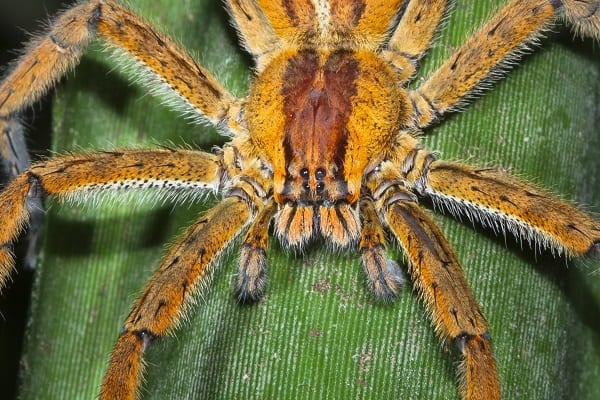 Wandering Spider as Inspiration For Electronic Skin